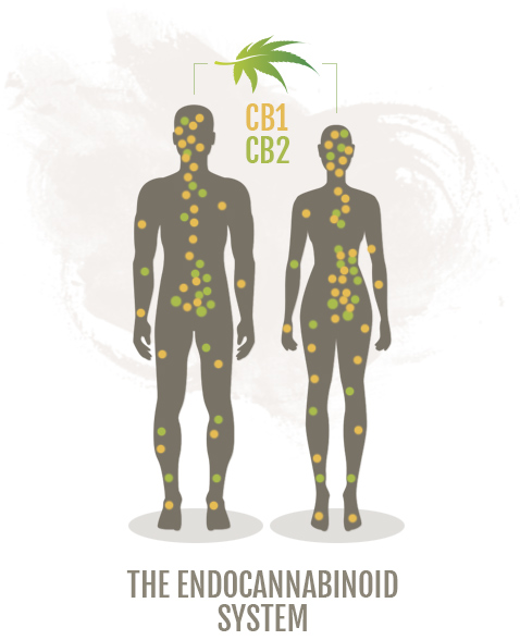 The Endocannabinoid system, cbd uk shop